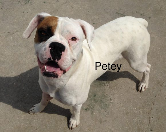 Petey – Adopted!