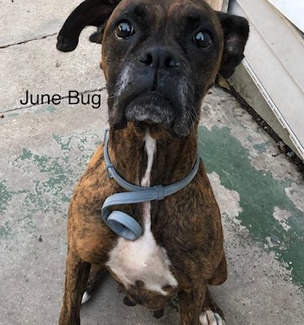 June Bug – Adopted!